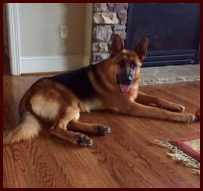 Black and Red Male German Shepherd dog in North Carolina